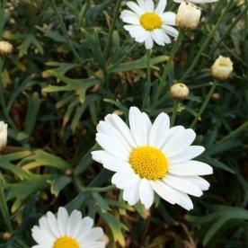 Margeriten im Ländchenlust-Garten
