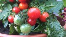 Auch für die Tomaten ist es noch etwas zu früh. Sie reifen in den kommenden Wochen weiter.