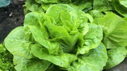 Saftig und leuchtend grün: Einer der vielen Kopfsalate im Ländchenlust-Garten