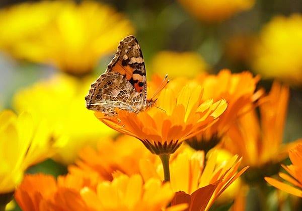 symbolique fleurs de nigelle de damas