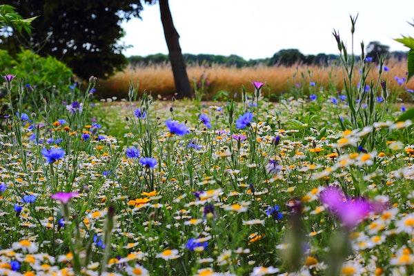 symbolique des fleurs des champs
