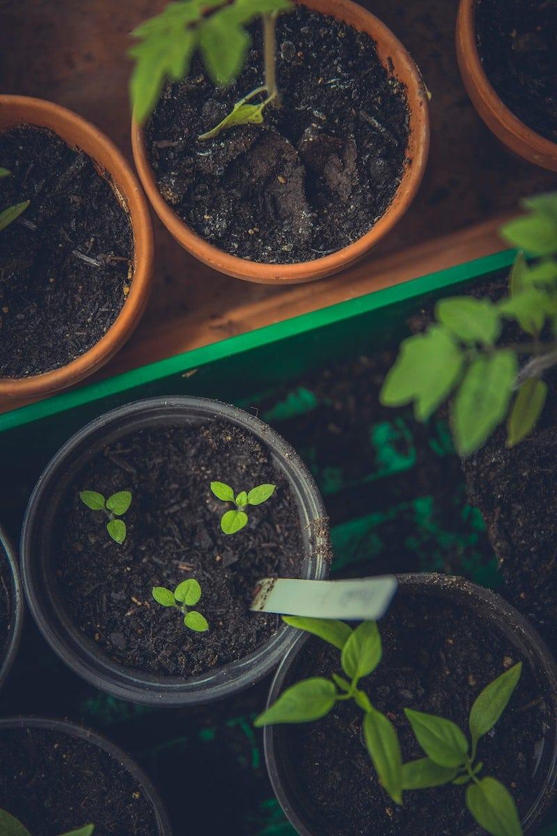 semer du basilic en pleine terre
