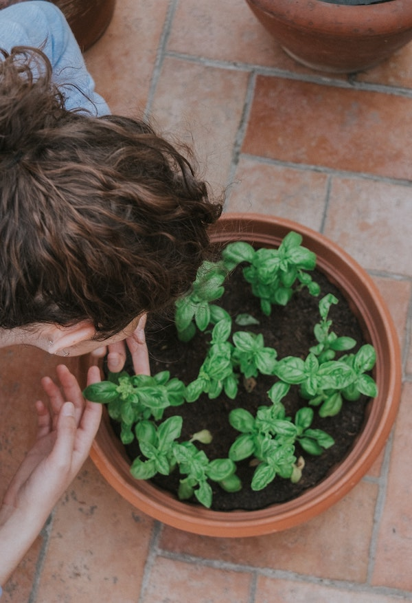 comment semer du basilic en pot