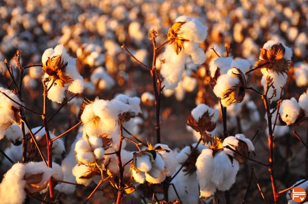 organic-cotton-crops-clothing-climbing-prana
