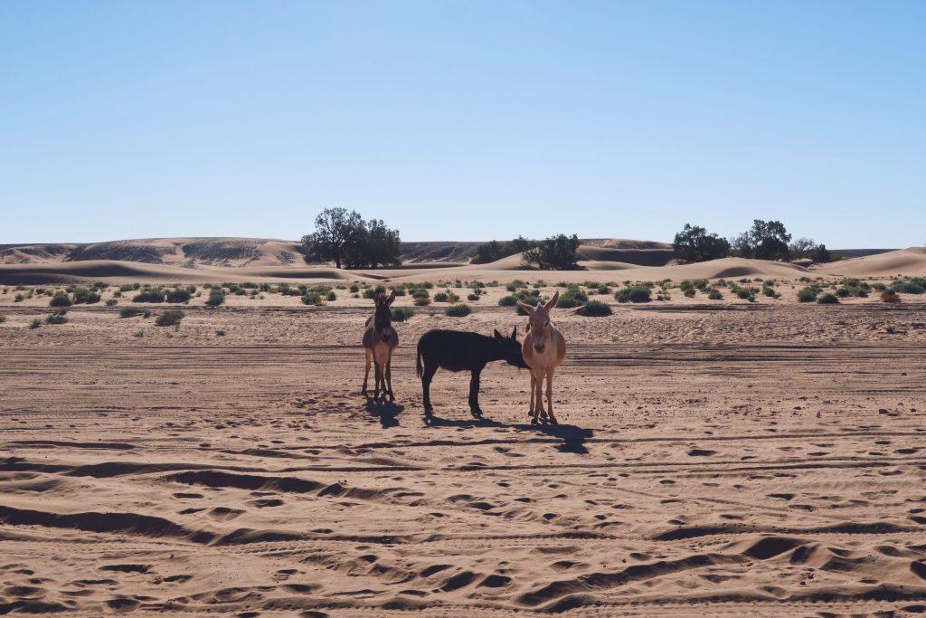Voyage au Maroc Desert Sahara Erg Chegaga ânes