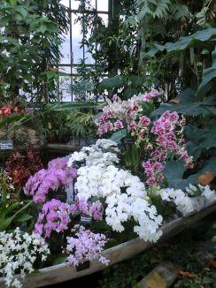 Présentation dans une pirogue d'orchidées par Vacherot & Lecoufle