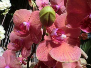 Une orchidée de la variété Phalaenopsis Surf Song