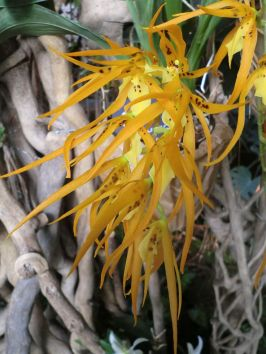 Une orchidée de la variété Brassia Orange Delight