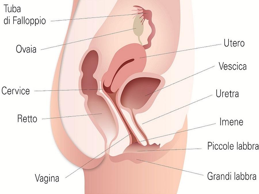 apparato sessuale femminile