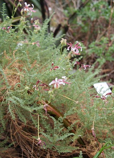 File:Pelargonium tragacanthoides2.jpg