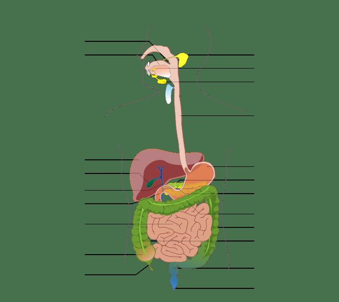 File:Digestive system diagram no labels arrows.svg