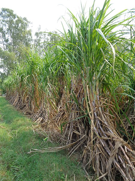 File:Sugarcane in Punjab.jpg