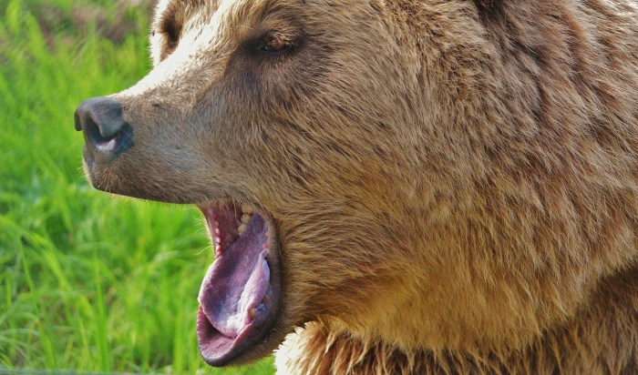 C:\Users\Zubair\Downloads\brown-long-coated-animal-yawning-158403.jpg