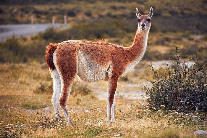 File:Guanaco - wild llama (26355248058).jpg