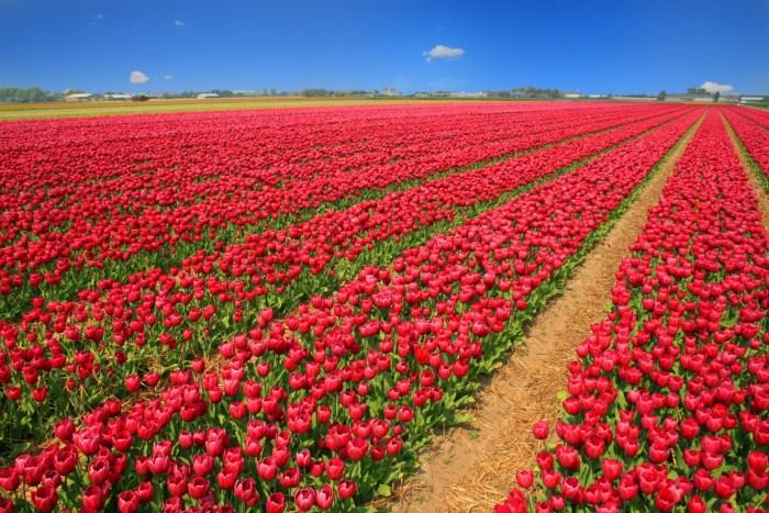 https://c1.peakpx.com/wallpaper/24/495/831/holland-red-tulip-field-tulips-wallpaper.jpg