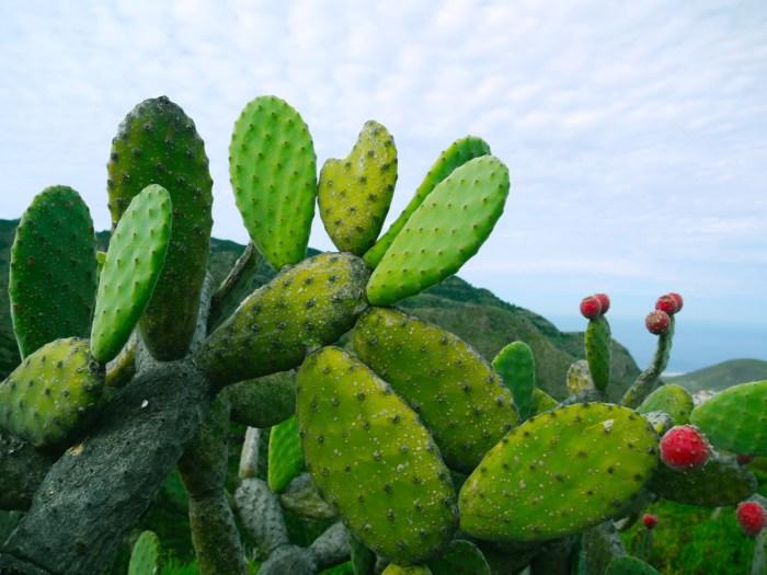 G:\Pics Sharing\nature-prickly-cactus-plant-fruit-leaf-592521-pxhere.com.jpg