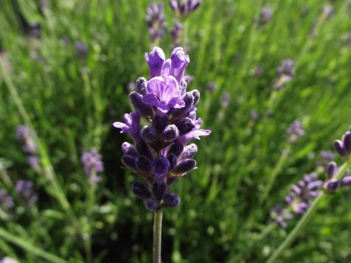 C:\Users\Zubair\Downloads\lavender-4080855_1920.jpg
