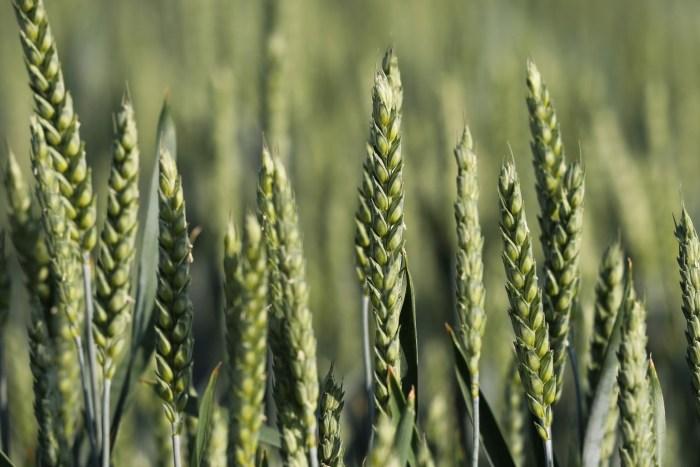 C:\Users\Zubair\Downloads\green-wheat-5212823_1920.jpg