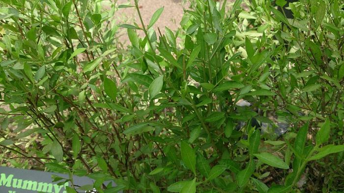 File:Henna (Lawsonia inermis).jpg