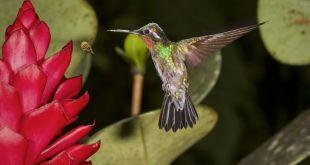 Colibri en Monteverde