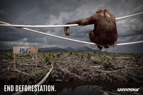 deforestation orang outan