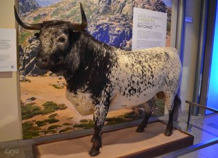 At the museum of Natural History - No Spain without a bull