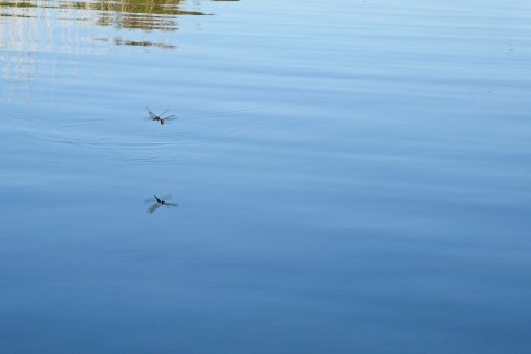 And the dragonflies were mating