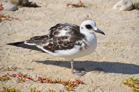 Swallowtailed Gull...
