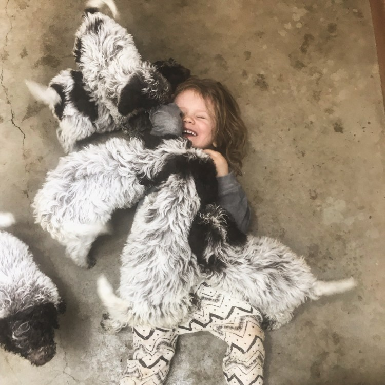 Amico Roma Puppies kid laying on the floor smothered by six roan coat lagotto puppies