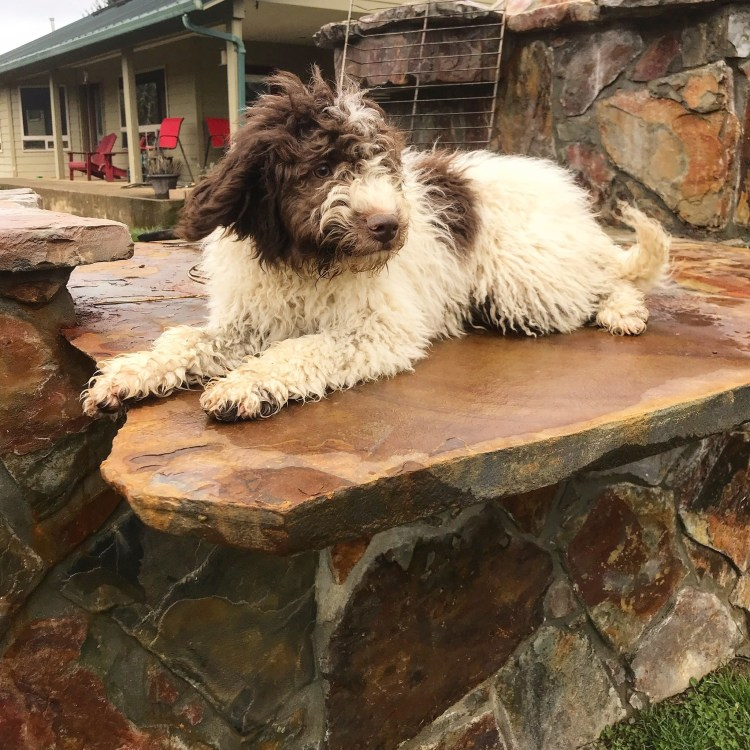 a white with brown spots lagotto romagnolo puppy laying on the outdoor pizza stove at amico roma puppies farm