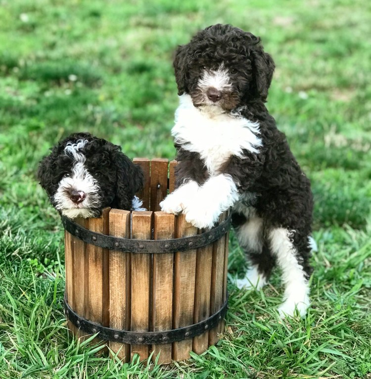 Two brown and orange Lagotto puppies hanging out in a wooden buckets at Amico Roma Puppies
