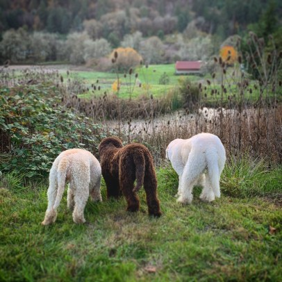 Breeding Lagotto of every coat color combination. Three Lagotto Romagnolo dogs standing together in front of a private pond. One cream and apricot coat, one brown coat, and one white coat.