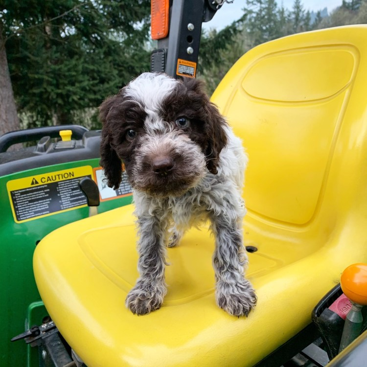 young roan colored lagotto romagnolo puppy standing on a john deere tractor at amico roma puppies