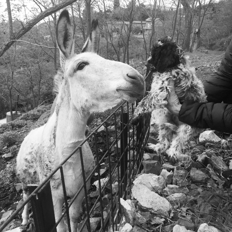 A roan coat Lagotto puppy is introduced to a mule on the Amico Roma Farms