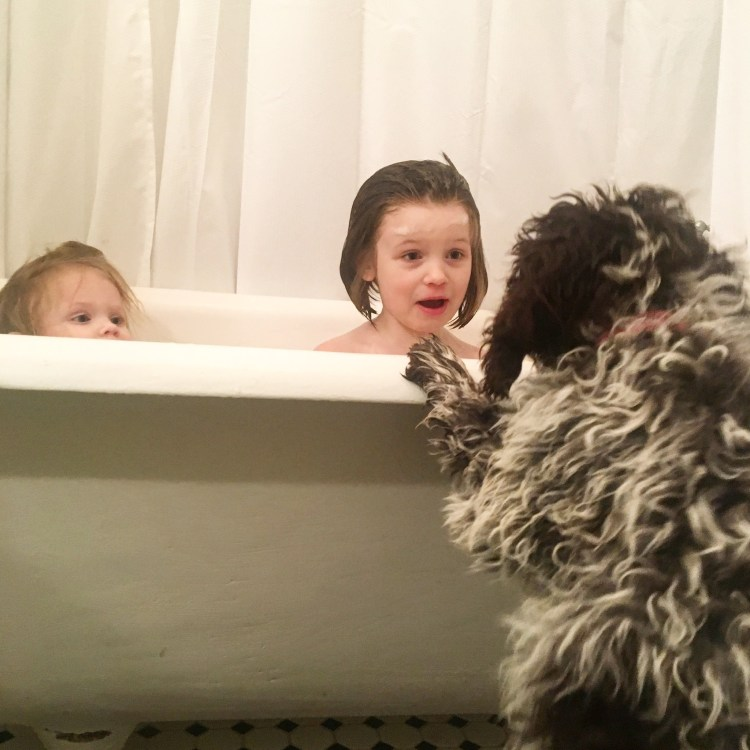 Two of Amico Roma Puppies' daughters in the family's claw bathtub and looking surprised to see a young roan lagotto puppy trying to get in to join them