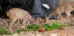 Los venados son animales silvestres, pero su carne es muy rica y apetecida en el departamento de La Guajira.