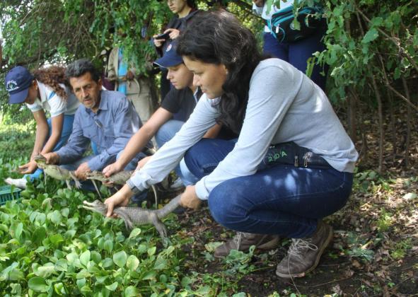 22 babillas juveniles, producto de una incubación artificial exitosa, adelantada por Cerrejón, fueron liberadas.
