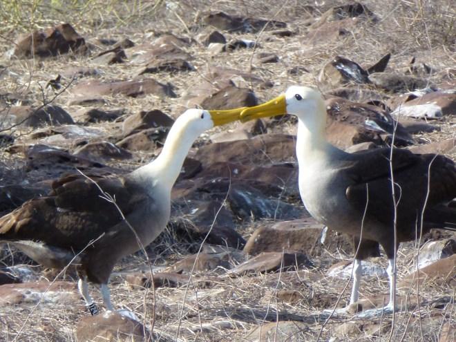 Albatros - Española