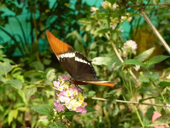 Papillon de Mindo