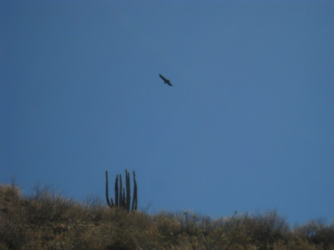Condor - Canyon del Colca - Pérou