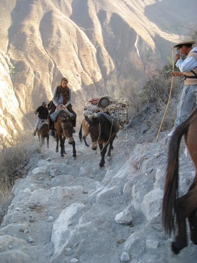 Mules - Canyon del Colca - Pérou