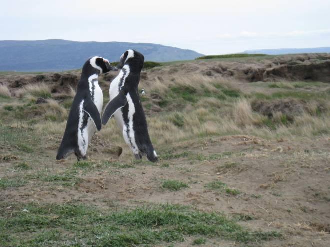 Pingouins de Magellan, Punta Arenas - Chili