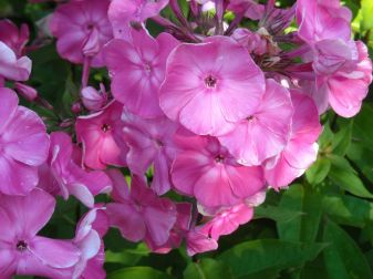 phlox--scented!