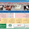 Sales Point For Eid Ul Adha 2017 Sacrificial Animals In Lahore Bakra Mandi Cow Mandi