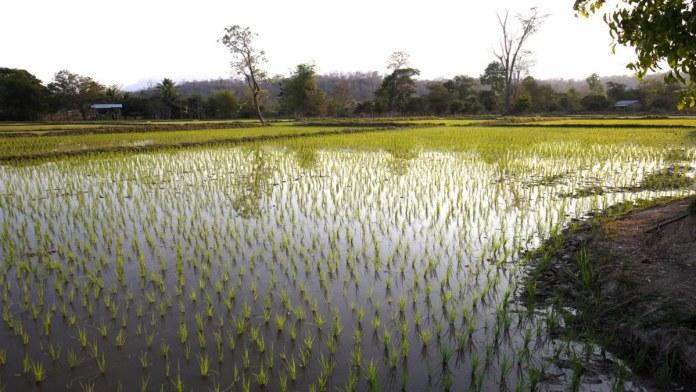 Rice seeds in Punjab