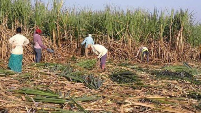 sugarcane sowing punjab