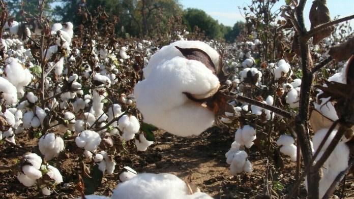 cotton supply
