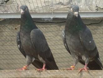 kuwaiti pigeons