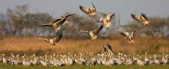 MigratoryWaterfowls_h