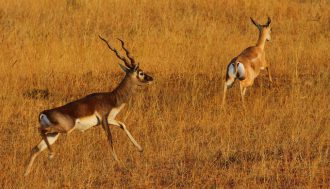 blackbuck-and-chankara